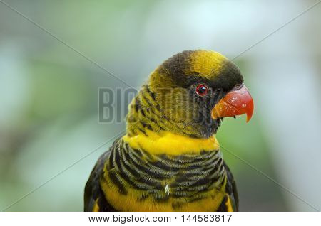 this is a close up of a dusky lory