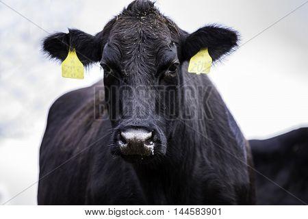 Black Angus cow looking forward towards the camera