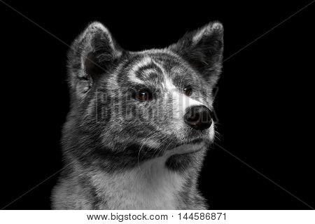 Closeup portrait of Akita inu Dog Alertness waiting on Isolated Black Background