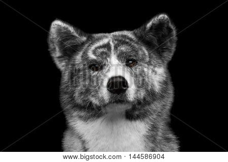 Closeup portrait of Serious face Akita inu Dog on Isolated Black Background