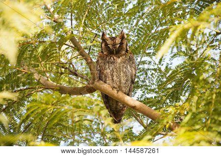 Lechuza orejuda en una rama de jacarandá
