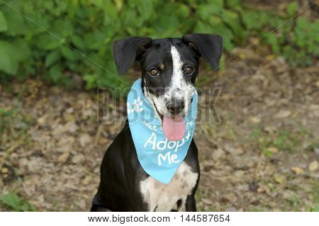Dog adoption is a shelter animal with bright brown eyes and big adorable floppy ears hoping to be adopted by someone