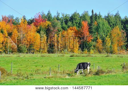 Cow at countryside in Stowe with Autumn mountains and forest
