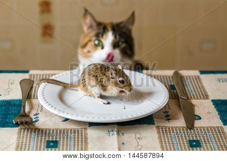 Cat cat licks lips and looks to little gerbil mouse on the table. Concept of prey, food, pest.
