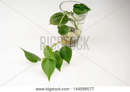 Bottle Of Green Epipremnum Aureum