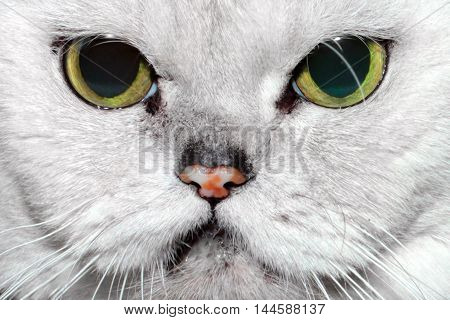Portrait of a lovely gray fluffy purebred cat