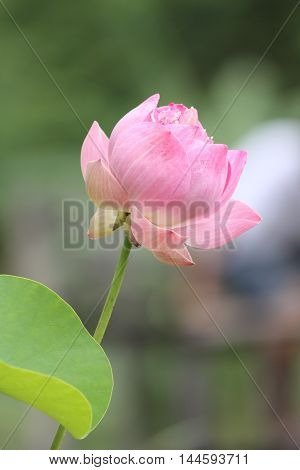 lotus, flower, nature, flowers, blossom, beauty, green, beautiful, water, plant, blue, flora, pink, single, bloom, botanical, pond, surface, color, summer, decoration, nobody, horizontal, bright, healthcare