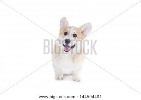 Corgi puppy isolated on a white background