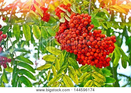 Bunches of colorful berries of mountain ash on a background of the autumn landscape