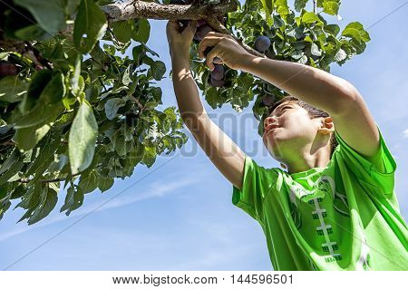 Boy plucking plums. A young boy reaches up to pluck a plum from the tree.