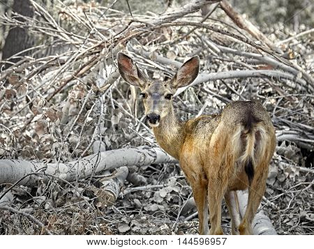 Arizona Mule Deer in the wilderness forest