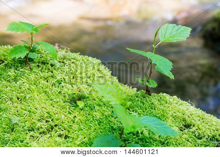 Young trees are growing among a moss on a stone