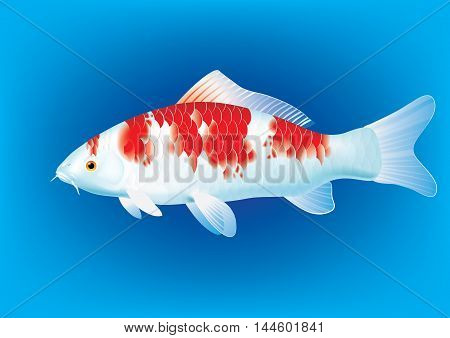 Vector illustration of koi carp breed Kohaku