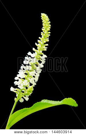 Butterfly Bush White Flower Isolated On Black Background