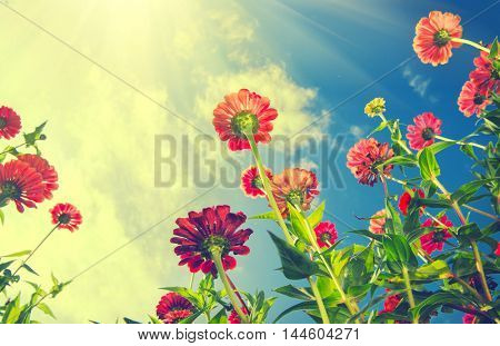 Flowers Over Blue Sky. Zinnia flower. Autumn Flowers background
