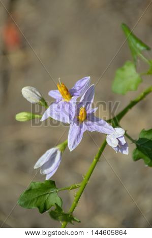 close up Solanum trilobatum flower in nature garden