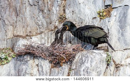 European Shag (phalacrocorax Aristotelis)