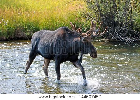 Adult Bull moose with shedding velvet antlers crossing the Fish Creek tributary of the Snake River in the Central Rocky Mountains between Jackson Hole and Wilson Wyoming US of A