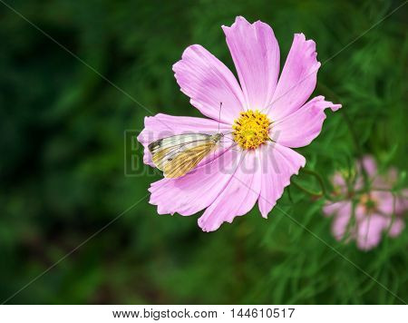 white butterfly sitting on a pink flower on summer day closeup
