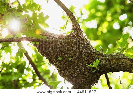 Honeybee swarm hanging at the tree in nature