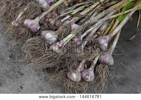 Organic farming. Dirty garlic bulbs fresh gathered on field at ecological farm, lays on rustic wood background. Harvest at agricultural production business. Natural healthy food outdoors