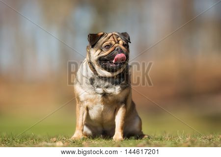 Mops Dog Outdoors In Nature