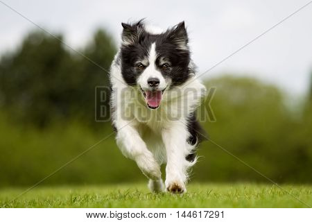 Happy And Smiling Border Collie  Dog Running