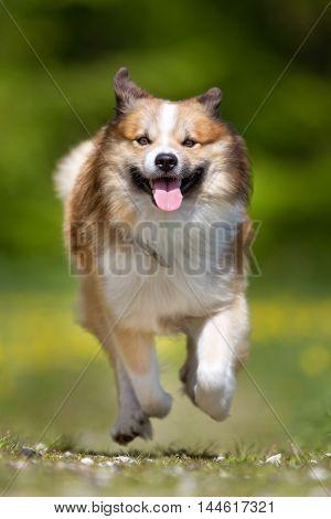 Happy And Smiling Icelandic Sheepdog Running