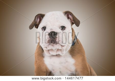 Brown And White Mops Dog