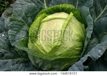 drops of morning dew on a cabbage