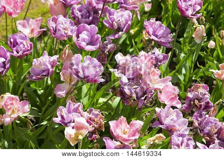 Flowerbed With Pink Tulips