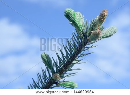 Branches Of Spruce