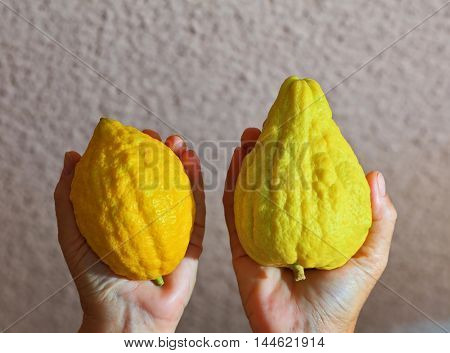 Women's hands holding the ritual fruit - citrus - etrog. Autumn holiday of Sukkot in Israel