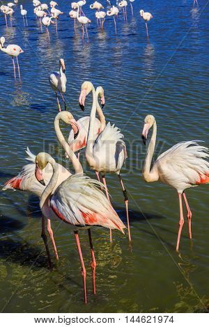 A flock of adorable pink flamingos. Exotic birds standing in a shallow lake. Sunset in national park of Kamargue.  Delta of Rhone, Provence, France