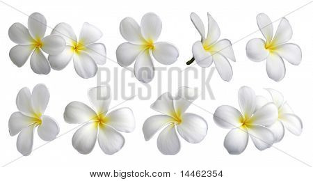 Set of ten frangipanis flowers on white background