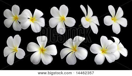 Set of ten frangipanis flowers on black background