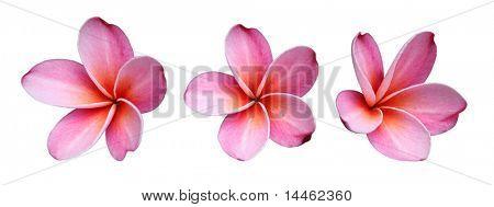 Set of three pink frangipanis flowers on white background