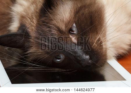 Balinese cat with blue eyes playing on the tablet computer