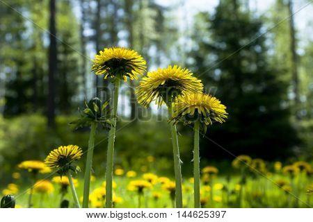 Flowering Yellow Dandelions