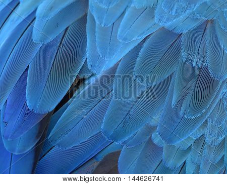 The most fascinating blue background of Yellow andf Blue macaw bird's wing texture