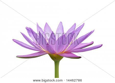 Flor de lirio de agua