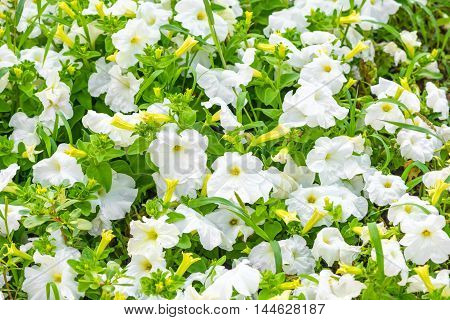 Beautiful Blooming White Petunia Flowers Background, Closeup