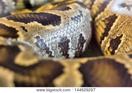 Boa Snake Was Curled Up