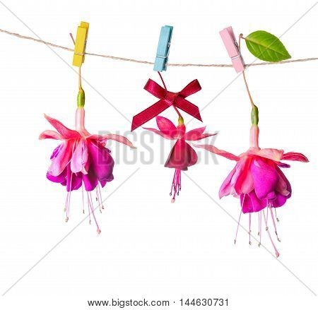 Beautiful Colorful Fuchsia Flowers Handing On Rope With Clothespin Is Isolated On White Background,
