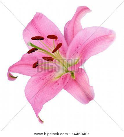 Eine rosa Lilienblume