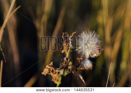 dandelion in the grass forest landscape during sunset