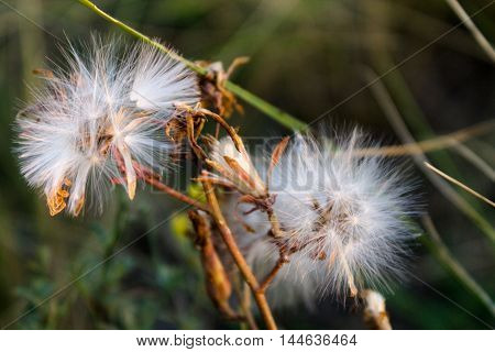 macro dandelions background, back-light abstract,  agriculture drop, droplet