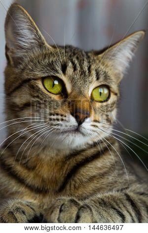 portrait of a relaxed cat lying beautiful kitten
