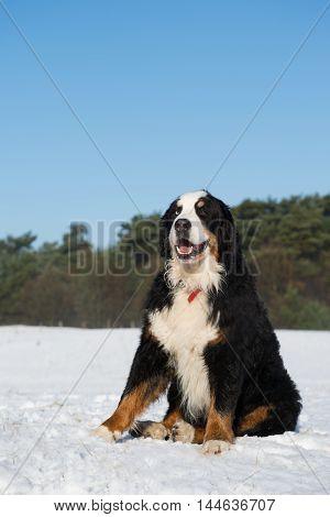 Berner Sennenhund sitting in snow landscape outdoor
