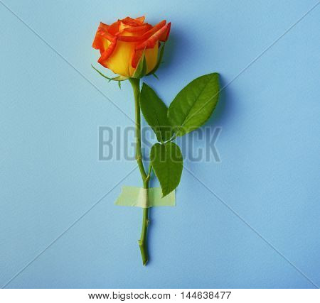 Beautiful bright rose on turquoise background
